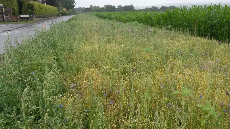 Der trockene Sommer 2018 dämpft zunächst ein bisschen die Entwicklung des Blühstreifens in Exten.